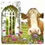 Calf massacre looms in Ireland:  dairy sales up, beef sales drop