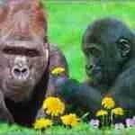 """Send Ndume back to Cinci!"" says gorilla case Solomon"