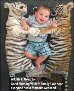 Tiger baby playtime