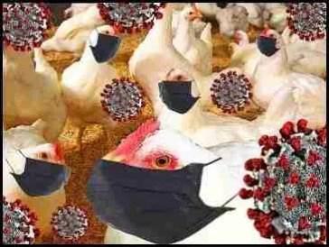 Covid chickens