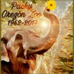Why the Oregon Zoo euthanized Packy the elephant
