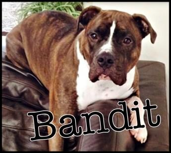 Bandit pit bull Aurora