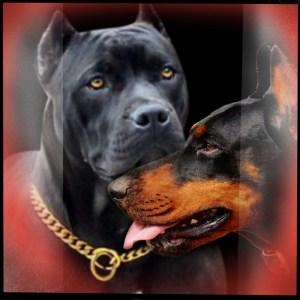 Pit bull & Doberman
