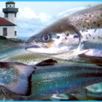 Are sick factory-farmed salmon running amok in Puget Sound?