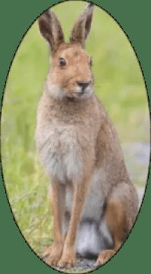 Hare (rabbit)