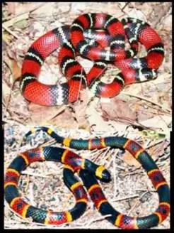 Central American milk snake & coral snake.