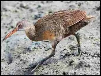 Clapper rail endangered shore bird