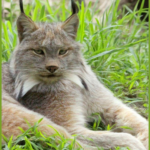 Winning for coyotes & beaver, lawyers turn to the missing lynx