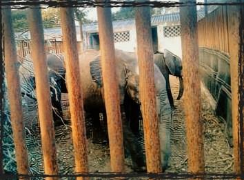 Zimbabwean baby elephants
