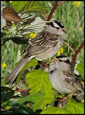 Black capped sparrows