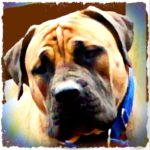 Deadliest dogs in South Africa?  Boerboels challenge pit bulls
