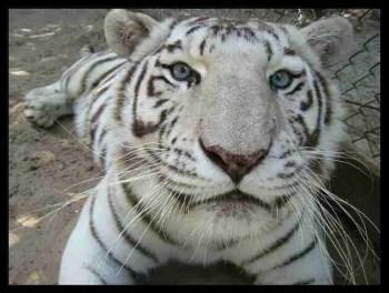 """Ban white tigers & lion/tiger hybrids,"" sanctuarians beg ... - photo#14"