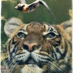 Are Bronx Zoo tigers with COVID-19 sentinels for brown bats?