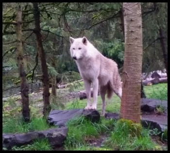 Child gives an arm to pet a wolf hybrid – Animals 24-7