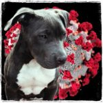 Pit bull attack deaths only slightly slowed by COVID-19 stay-home orders