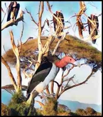 Buzzards on an acacia tree in Kenya