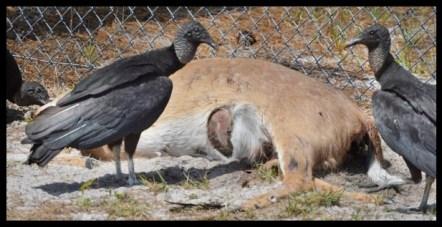 Vultures eat deer