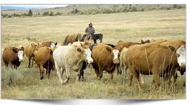 Herding cattle from Jim Mason's website