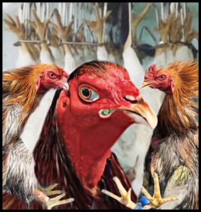 Fighting rooster and hanging dead hens
