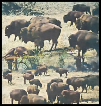 Bison Buffalo from movie