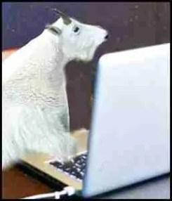 Goat at laptop