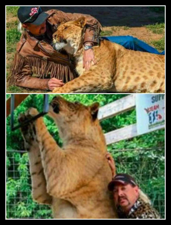 """Ban white tigers & lion/tiger hybrids,"" sanctuarians beg ... - photo#36"