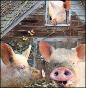 Three pigs and an old barn