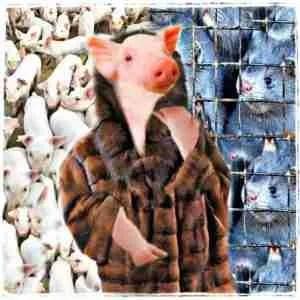 Mink & pigs