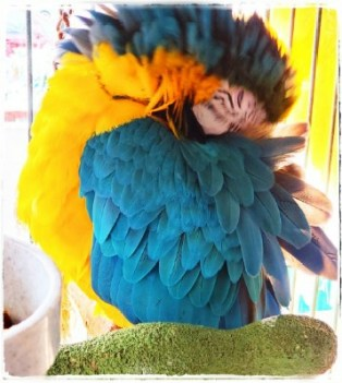 blue and gold parrot