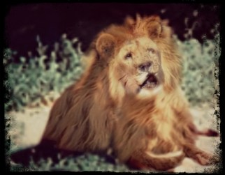 Marjan the lion Kabul Zoo