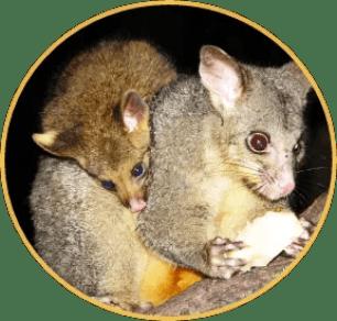 """Brush possum killings build momentum for """"boycott New"""