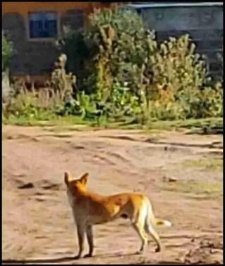 Kenya dog