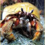 Scientists confirm:  Hurt crabs feel pain