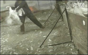 Peta photo at abusive turkey farm