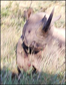 Beth's rhino