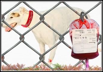 Greyhound blood donor