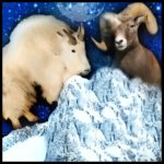 Mountain goat massacre begins in Grand Tetons