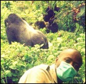 Gorilla in Virunga National Park, DRC
