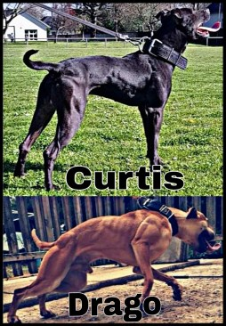Curtis & Drago pit bulls