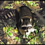 How long would you freeze to get a good raccoon photo?