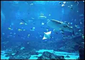 Whale shark & ray at Georgia Aquarium