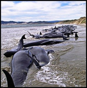 Pilot whales beached in New Zealand