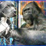 "Did Koko sign ""mauler""?  Gorilla Foundation pit bulls ran amok"