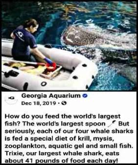 Whale shark feeding at Georgia Aquarium