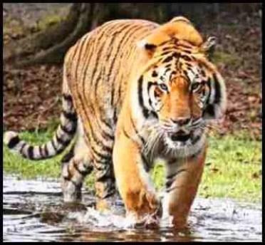 Kimba the Big Cat Rescue tiger