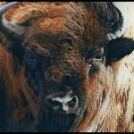 How ancient bison survived in the land & times of Good King Wenceslaus