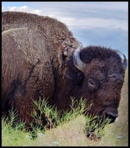 American bison at Yellowstone National