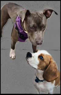Pit bull and beagle