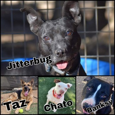 Chato, Taz,Banksy, & Jitterbug