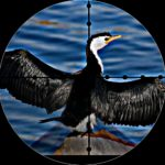 Cormorant killers shoot the bird to D.C. judicial ruling